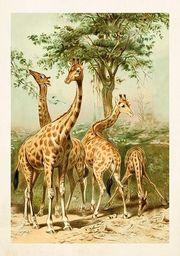Skona Ting Karnet B6 + koperta Żyrafy
