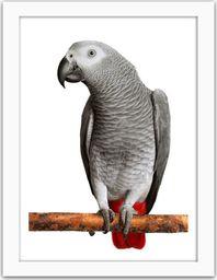 Feeby Obraz w ramie białej, Afryki Grey Parrot 21x29,7