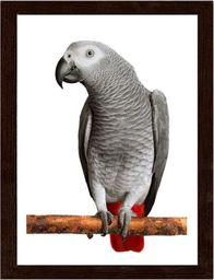 Feeby Obraz w ramie brązowej, Afryki Grey Parrot 21x29,7