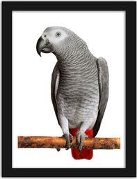 Feeby Obraz w ramie czarnej, Afryki Grey Parrot 21x29,7