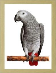 Feeby Obraz w ramie naturalnej, Afryki Grey Parrot 21x29,7