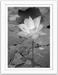 Feeby Obraz w ramie białej, Biała Lilia wodna 21x29,7