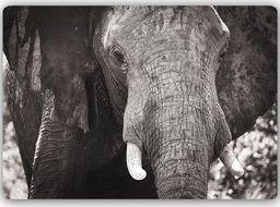 Plakat metalowy Feeby czarno-biały słoń 30cmx20cm