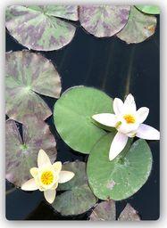 Plakat metalowy Feeby dwie lilie wodne 20cmx30cm
