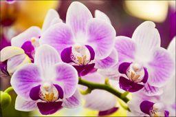 AC Fototapeta Tropikalna Orchidea flizelina 130g 90x60