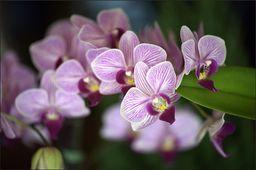 AC Fototapeta Piękne Orchidee flizelina 130g 90x60