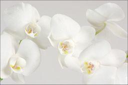 AC Fototapeta Piękny Biały Storczyk flizelina 130g 90x60