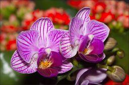 AC Fototapeta Optyczna Orchidea 3D flizelina 130g 90x60