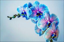 AC Fototapeta Kolorowy Storczyk flizelina 130g 90x60