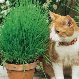 Kiepenkerl Trawa dla kota - Kiepenkerl