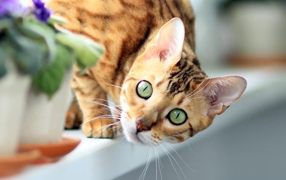 Zaawansowane Bengalski kot – hodowla, tresura, żywienie - wiadomości w Morele.net FV05