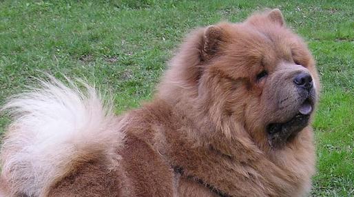 Fantastyczny Pies Chow Chow - cena, hodowla, opis rasy, opinie, waga NJ98