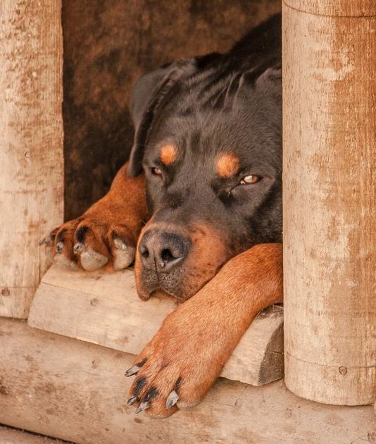 pies w budzie
