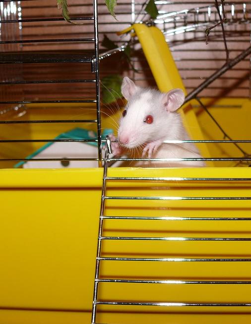 klatka dla szczura