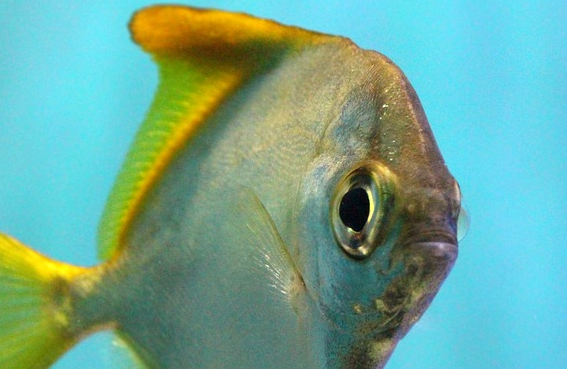 rybka akwariowa