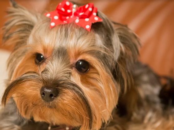 Modish York pies – cena, ile żyje, hodowla, żywienie, opis, charakter XZ73