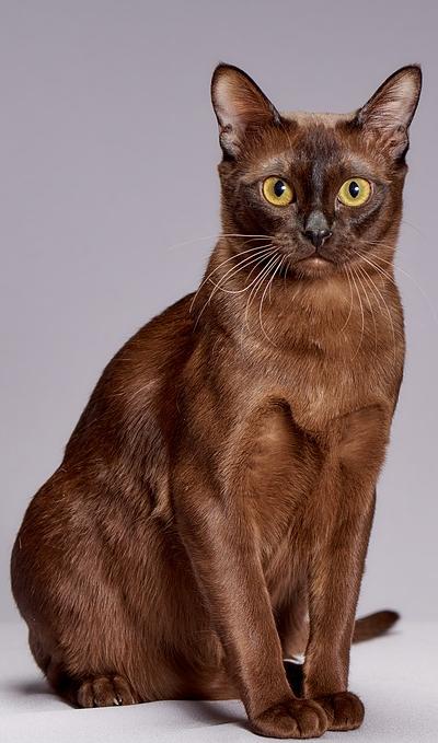 Kot Burmski Cena Charakter Hodowla Opinie żywienie