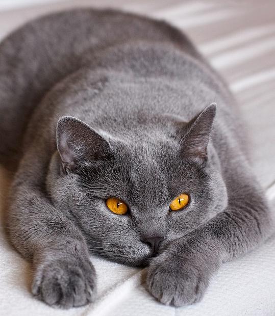Kot Brytyjski Hodowla Tresura żywienie Wiadomości W Morelenet