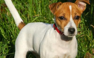 Oryginał West Highland white terrier - cena, hodowla, opis rasy, żywienie MV03