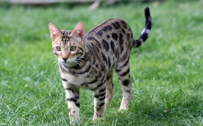 W Ultra Bengalski kot – hodowla, tresura, żywienie - wiadomości w Morele.net LU85