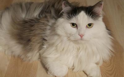 Kot Perski Cena Charakter Długość życia Pielęgnacja