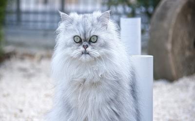 Nowość Kot Norweski leśny – cena, charakter, hodowla, pielęgnacja UT02
