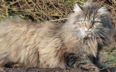 Oryginał Kot Norweski leśny – cena, charakter, hodowla, pielęgnacja HO59