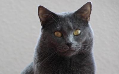 Kot Kartuski Cena Hodowla Charakter Opinie Opis Rasy żywienie