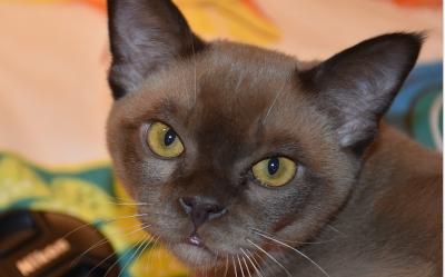 Kot Egzotyczny Cena Hodowla Charakter Opinie Opis Rasy