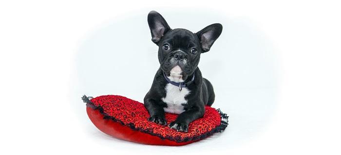 Chihuahua Hodowla Cena Charakter Opis Rasy Opinie Waga